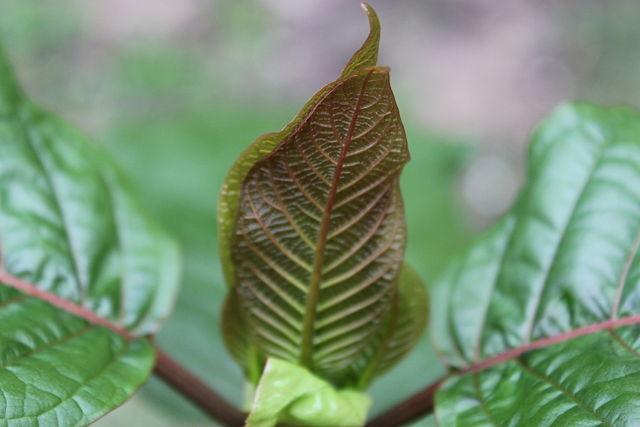 Kratom leaf Autor ThorPorre Wikipedia